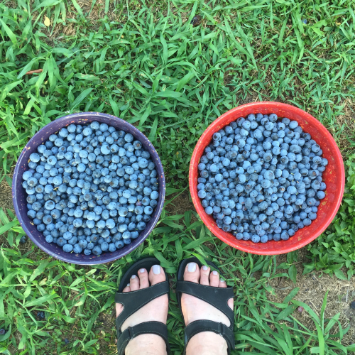 Blueberries_1