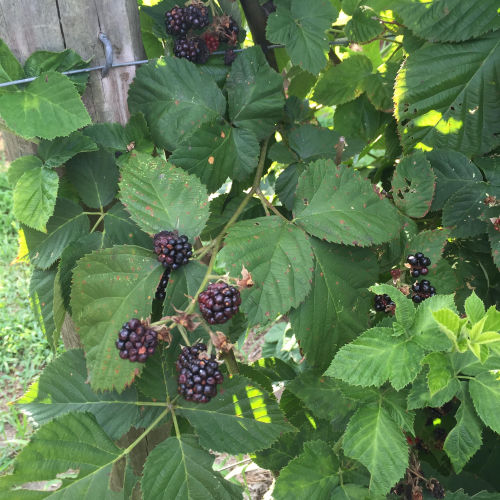 Blueberries_2