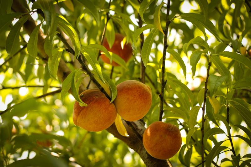 Peaches_1-1