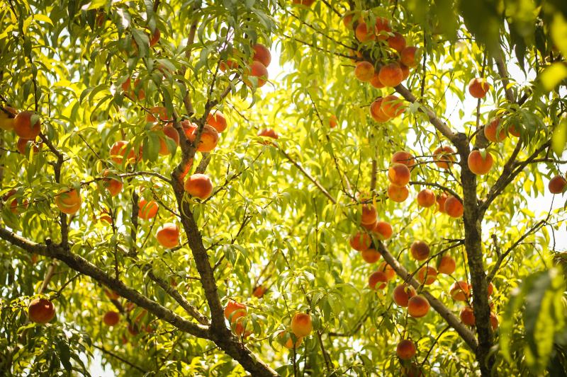 Peaches_2-1